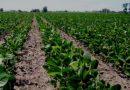 Inicia la siembra de soya en más de 13 mil hectáreas en el Soconusco